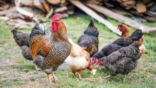 ダイエットに鶏肉